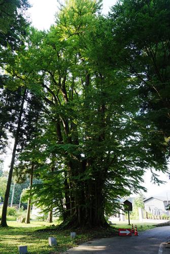 萬松寺の大かつら